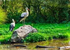 White stork standing on a rock at the water side, common birds of europe royalty free stock photo