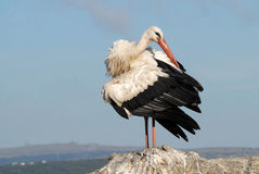 White Stork on a stone Stock Images