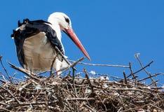 White Stork, Stork, Bird, Beak stock photos