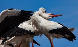 White Stork, Stork, Bird, Beak royalty free stock photo