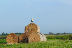 White stork and straw bale Stock Photography