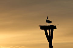 White Stork at Sunset Stock Images