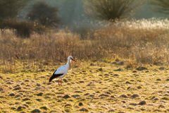 White stork sunset field Royalty Free Stock Photos