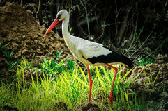 White stork in the swamp. Royalty Free Stock Photo