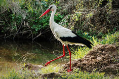 White stork in the swamp. Stock Images