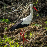 White stork in the swamp. Royalty Free Stock Images