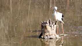 White stork in swamp Stock Photo