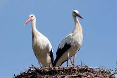 White stork at their nest stock photo