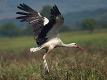 White Stork to fly, Ciconia ciconia Stock Photo