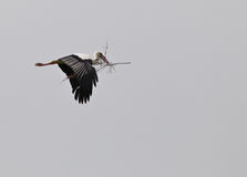 White Stork on transport. A White Stork (Ciconia ciconia) carries the whole branch of an olive tree to build it´s nest royalty free stock photos