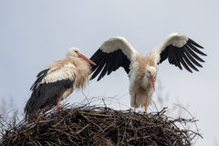 White Stork. Two White storks on nest. One with wings spread, ready to fly Stock Photos