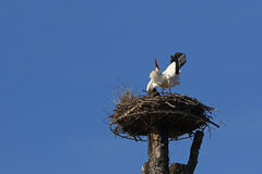 White stork in typical mating call pose Royalty Free Stock Photo
