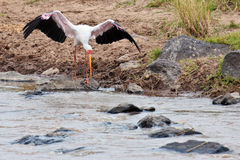 White Stork volant bent to the water. Masai Mara Game Reserve, Kenya Stock Photography