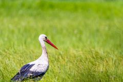 A white stork walking on a field with fresh green grass. Bird lo Stock Image