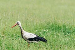 A white stork walking on a field with fresh green grass Royalty Free Stock Image