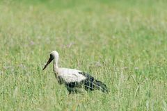 A white stork walking on a field with fresh green grass Royalty Free Stock Images