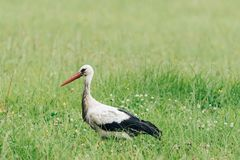 A white stork walking on a field with fresh green grass Royalty Free Stock Photos