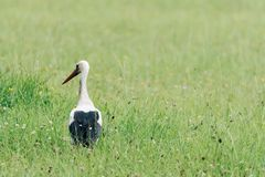 A white stork walking on a field with fresh green grass Stock Photography