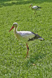 White stork walking on the grass Stock Photo