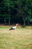 White stork walking on a green meadow, hunting for food Stock Photos