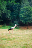 White stork walking on a green meadow, hunting for food Royalty Free Stock Photos