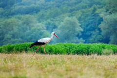 White stork walking on a green meadow, hunting for food Royalty Free Stock Images