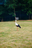 White stork walking on a green meadow, hunting for food Stock Image