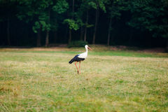 White stork walking on a green meadow, hunting for food Royalty Free Stock Photography