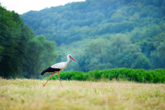 White stork walking on a green meadow, hunting for food Royalty Free Stock Photo