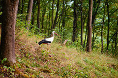 White stork walking on a green meadow, hunting for food Stock Images