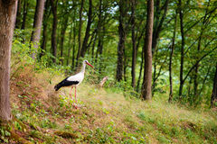 White stork walking on a green meadow, hunting for food Stock Photo