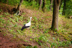 White stork walking on a green meadow, hunting for food Stock Photography