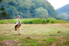 White stork walking on a green meadow, hunting for food Royalty Free Stock Image