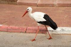 White stork  walking  in  park Royalty Free Stock Photo
