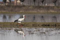 White stork walking in the pond Royalty Free Stock Images
