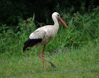 White stork walks in the grass Stock Photos