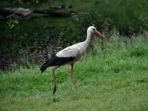 White stork walks in the grass. A white stork walks in a meadow on the green grass in search of prey Royalty Free Stock Images