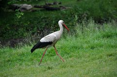 White stork walks in the grass. A white stork walks in a meadow on the green grass in search of prey Royalty Free Stock Photography