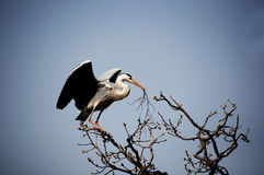 A white stork. Was collecting materials, building their nests Stock Photos