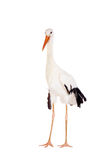 White Stork on white. Royalty Free Stock Photo