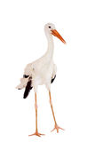 White Stork on white. White Stork - Ciconia ciconia. Isolated on white royalty free stock photography