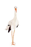 White Stork on white. Stock Image