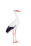 White Stork on white. Stock Photos