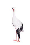 White Stork on white. Royalty Free Stock Image