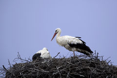 White stork Royalty Free Stock Photo