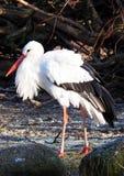 White Stork. A Wild White Stork in zoo Stock Image