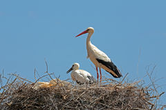 White stork with  young baby stork on the nest Royalty Free Stock Photography