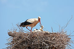 White stork with  young baby stork on the nest Royalty Free Stock Image