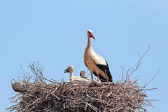 White stork with  young baby stork on the nest Stock Image