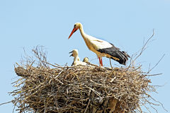 White stork with young baby stork on the nest - Ciconia ciconia Stock Photo